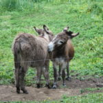 Affectionate Donkeys