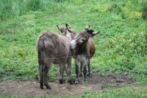 Affectionate Donkeys